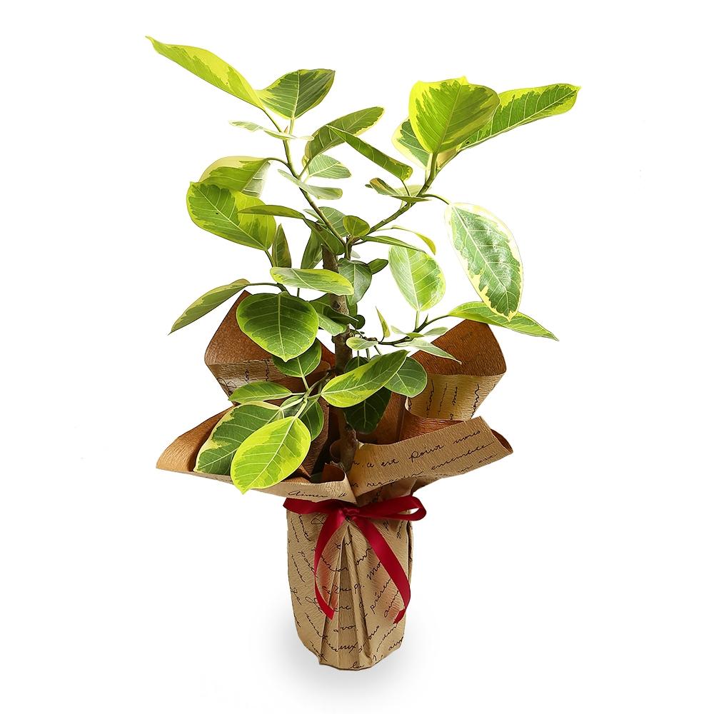 観葉植物(ゴムの木)